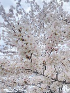歩きお花見
